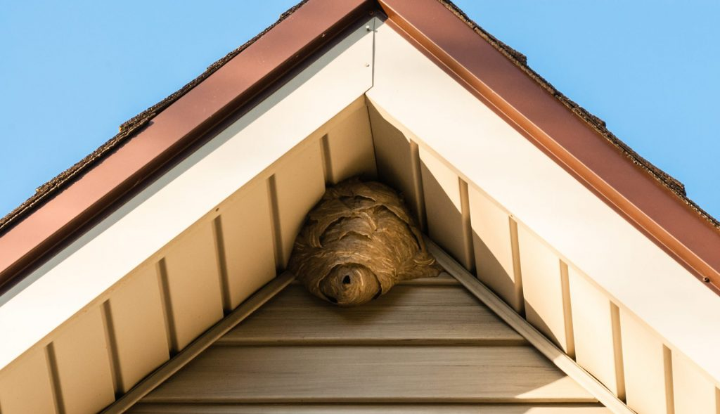 Wasp nest under eaves of a roof