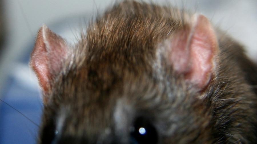 Swift Pest Solutions Rats Head