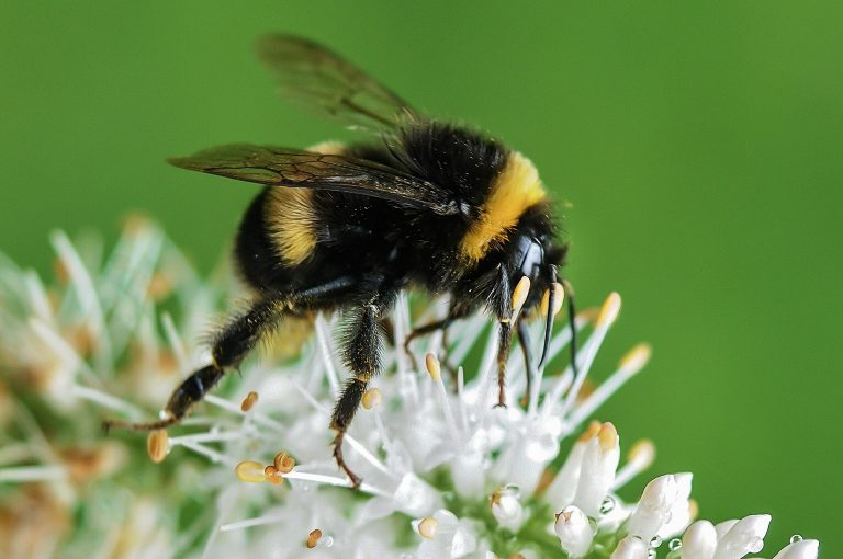 Swift Pest Solution Bumble Bee