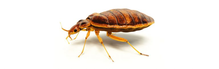 Swift Pest Solutions Bedbug