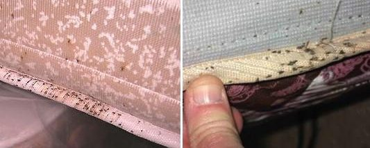Swift Pest Solutions Bedbugs on mattress