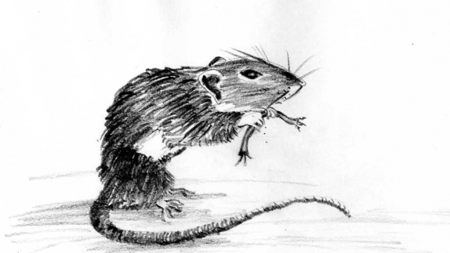Swift Pest Solutions Drawing Of Rat