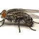Swift Pest Solutions Fly