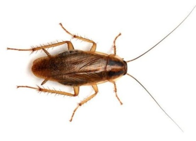 Swift Pest Solutions German Cockroach