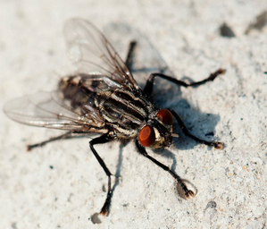 Swift Pest Solutions Housefly on surface
