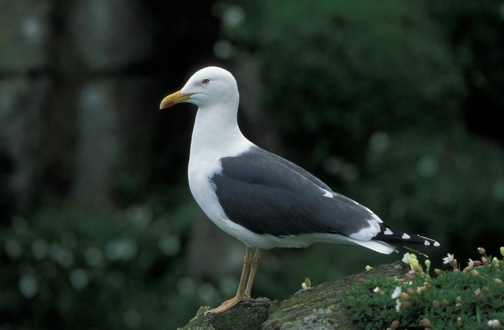 Swift Pest Solutions Lesser Black-backed Gull
