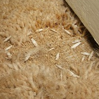 Swift Pest Solutions Moth Larvae On Carpet