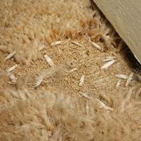 Swift Pest Solutions Moth Larvae On Carpet