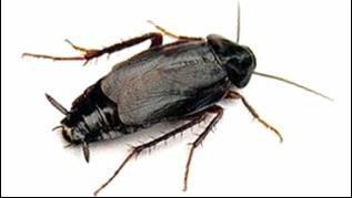 Swift Pest Solutions Oriental Cockroach