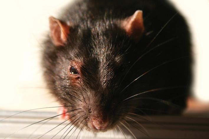 Swift Pest Solutions Rat