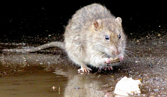 Swift Pest Solutions Rat Feeding By Water
