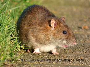 Swift Pest Solutions Rat On Ground