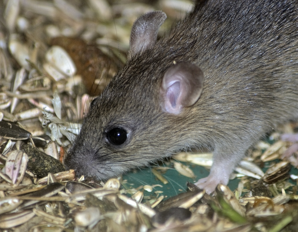 Swift Pest Solutions Small Mouse