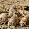 Swift Pest Solutions Rats