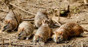 Swift Pest Solutions Rats