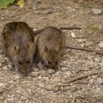 Rats foraging for food
