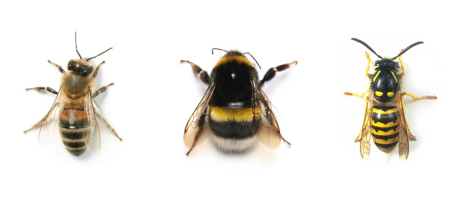 Bee or wasp?